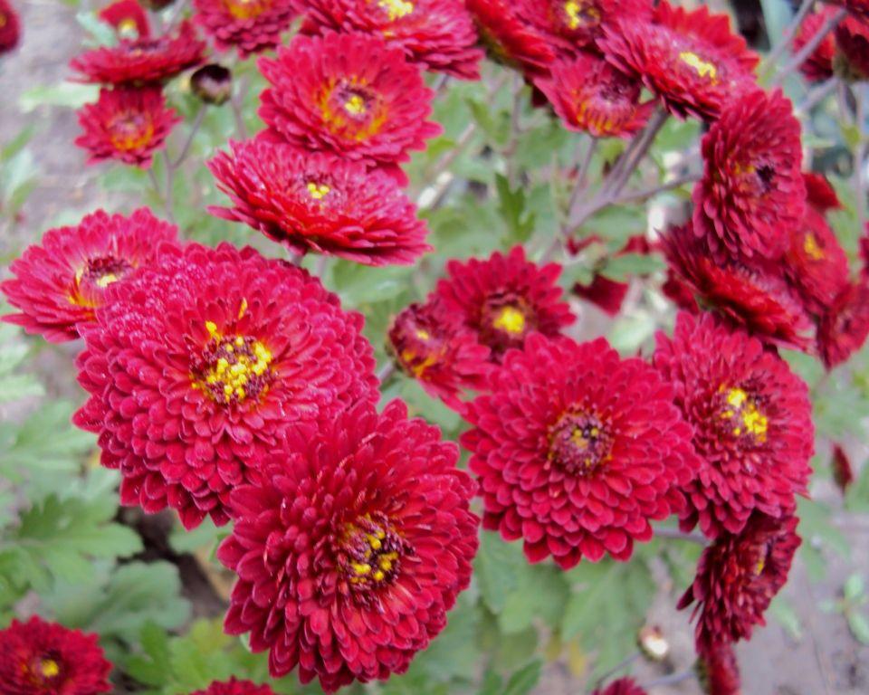 Саженец хризантемы Зарница (среднецветковая): фото и описание