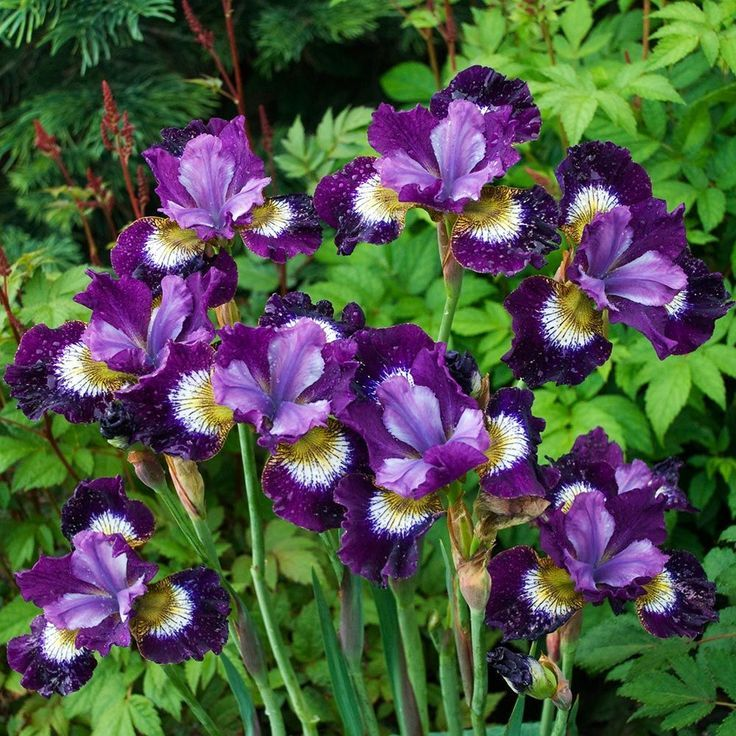 Саженец ириса sibirica Breeders Mix: фото и описание