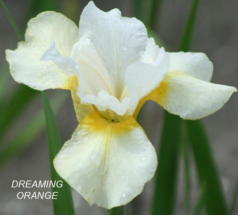Саженец ириса сибирского Dreaming Orange: фото и описание