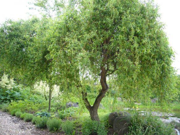 Саженец Ивы Матсуды или Salix matsudana: фото и описание