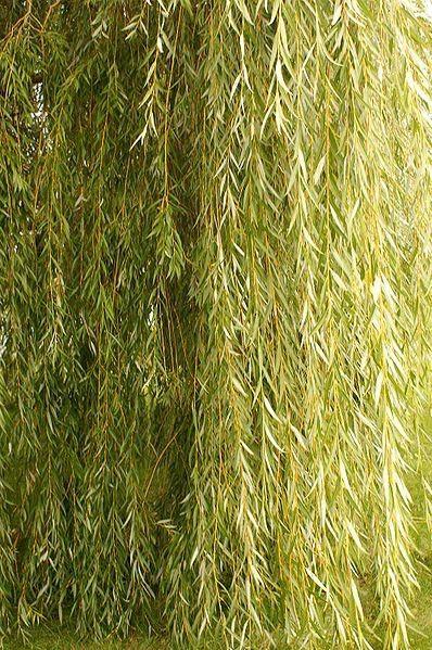 Саженец Ивы плакучей (желтая): фото и описание