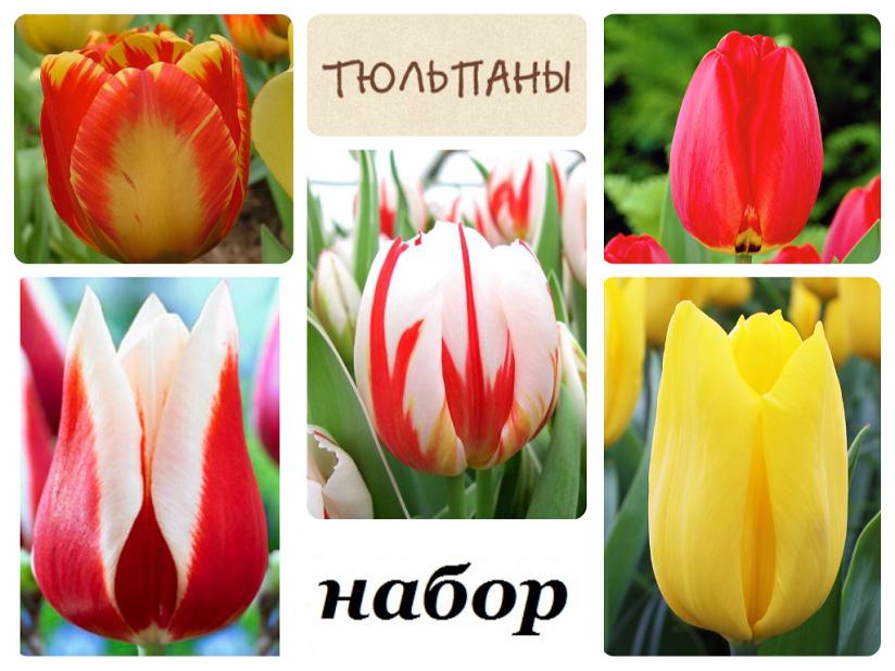 Луковиц тюльпанов (комплект №1 из 10 луковиц ): фото и описание