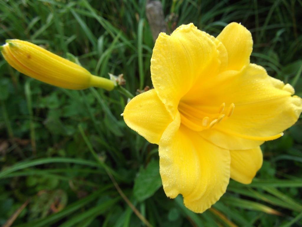 Саженец лилейника гибридный Stella de Oro: фото и описание