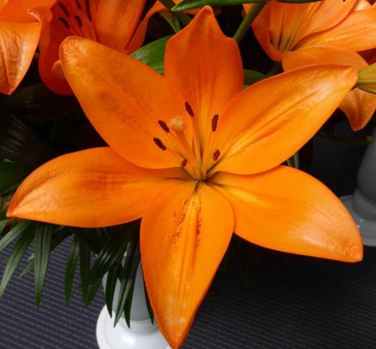 Луковица лилии Cantello (Кантелло): фото и описание