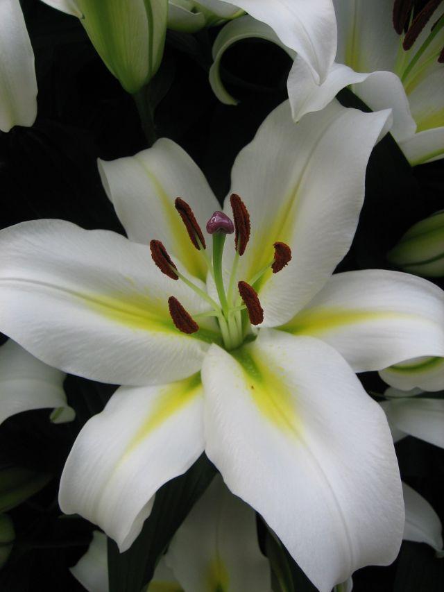 Луковица лилии Кокосса: фото и описание