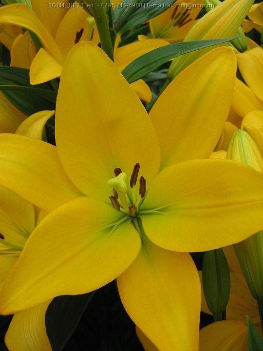 Луковица лилии Palms Place (Ладошка) ЛА-гибрид: фото и описание