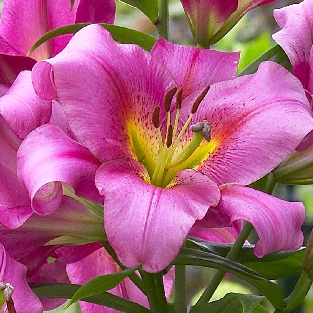 Луковица лилии Purple Lady ОТ-гибрид: фото и описание