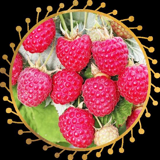 Саженец малины Августовское Чудо: фото и описание