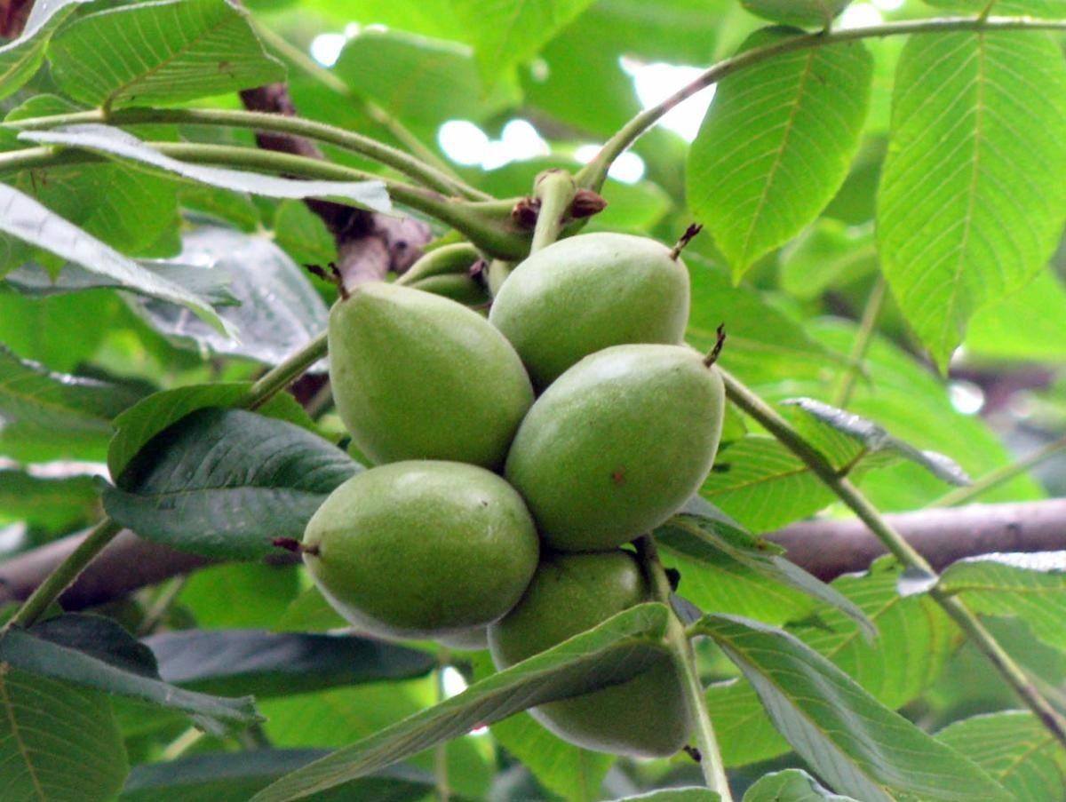 Саженцы маньчжурского ореха: фото и описание