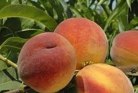 Саженец персика Фиделия: фото и описание