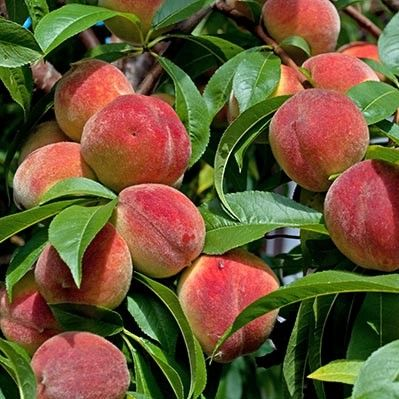 Саженец персика Ревита: фото и описание