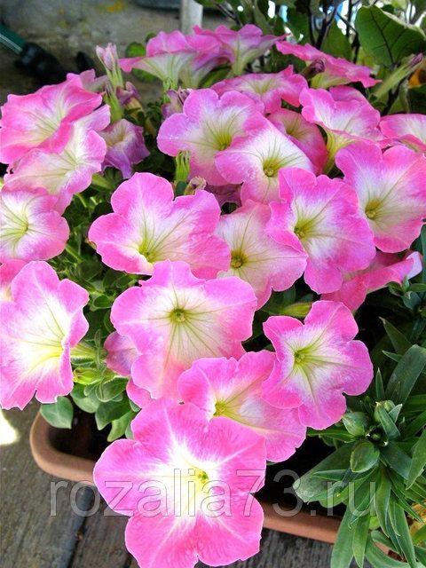 Семена петуньи Лолита светло-розовая Арт. 5731