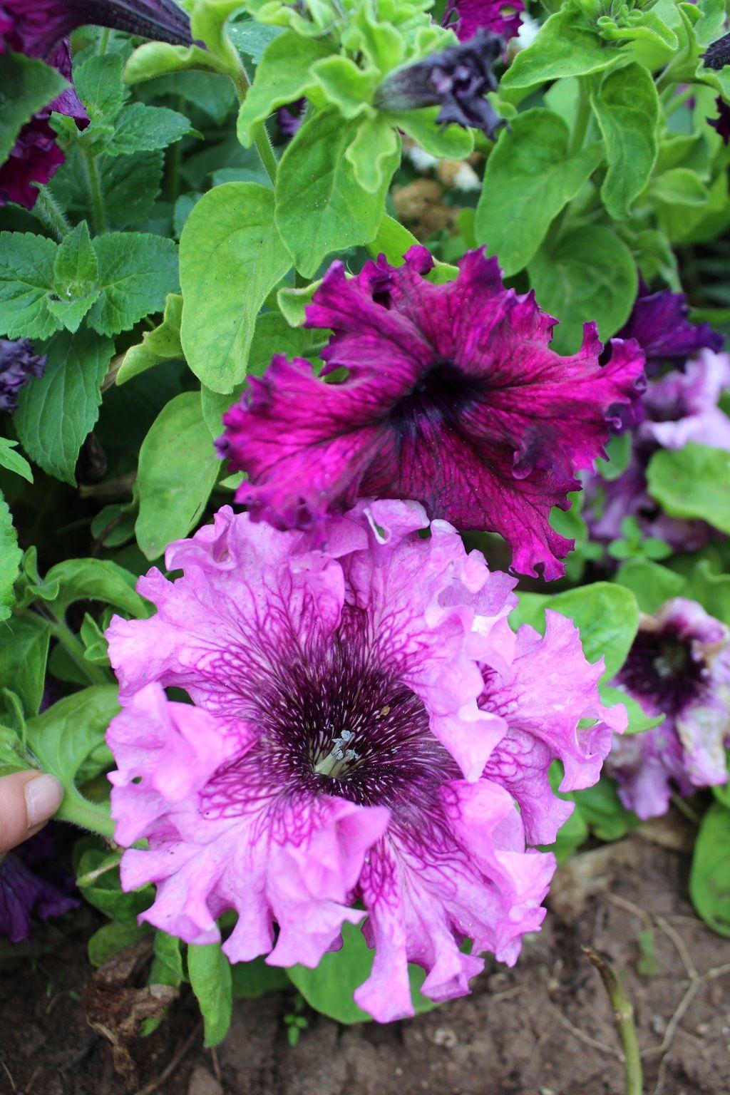 Семена петуньи Триумф розовая Арт. 5525