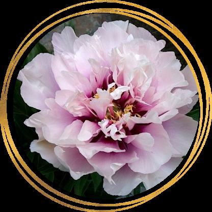Саженец пиона Cora Louise (Кора Луиз): фото и описание