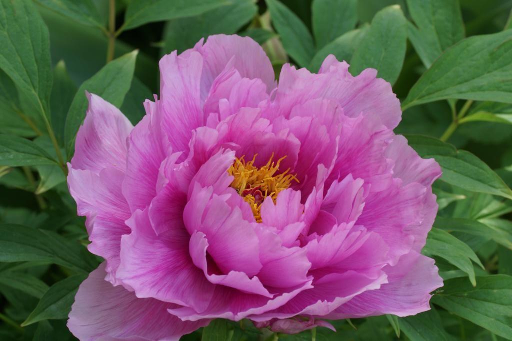 Саженец пиона древовидный As pretty as flower and jade: фото и описание