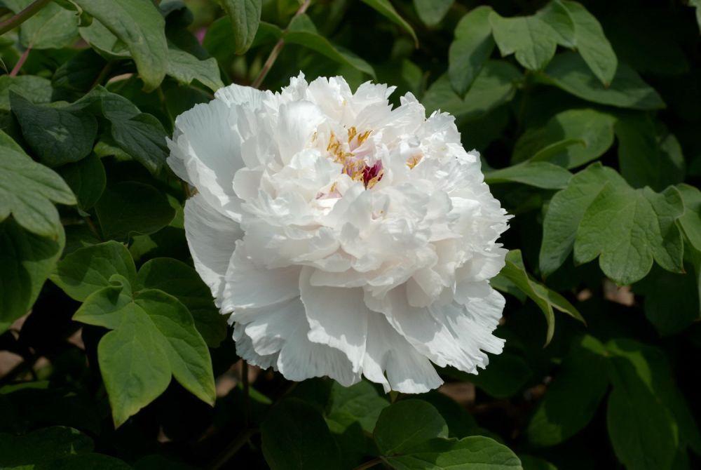 Саженец пиона древовидный Fragrant Jade: фото и описание