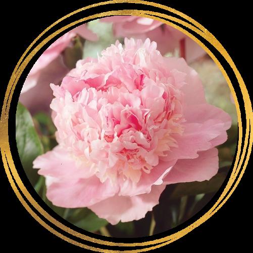 Саженец пиона Eden's perfume (Эденс перфьюм): фото и описание