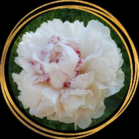 Саженец пиона Rose Marie Lins (Роз Мари Линс): фото и описание