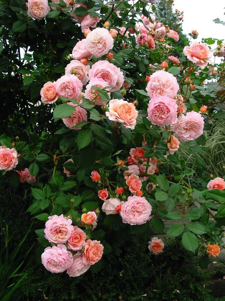 Саженец розы Абрахам Дерби: фото и описание