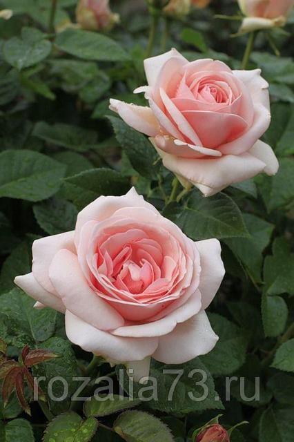Саженец чайно-гибридной розы Афродита: фото и описание