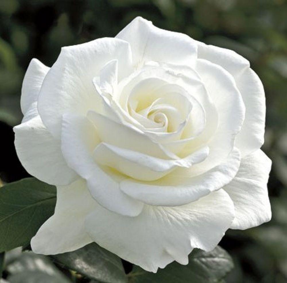 Саженец розы Akito (Акито): фото и описание