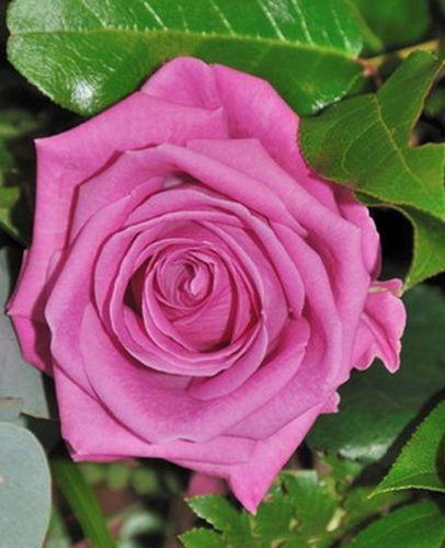 Саженец розы Аква: фото и описание