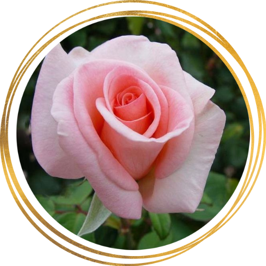 Саженец розы Александр Пушкин: фото и описание