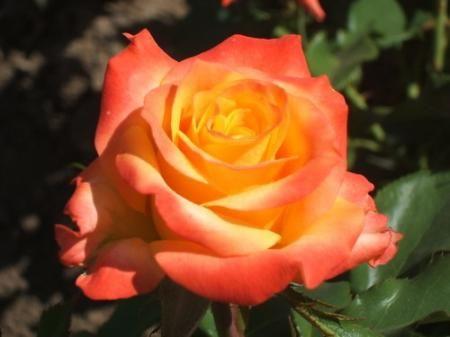 Саженец розы Альмер Голд: фото и описание