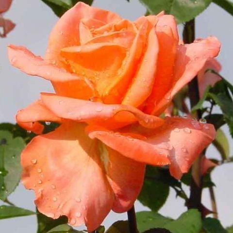 Саженец розы Амбассадор: фото и описание