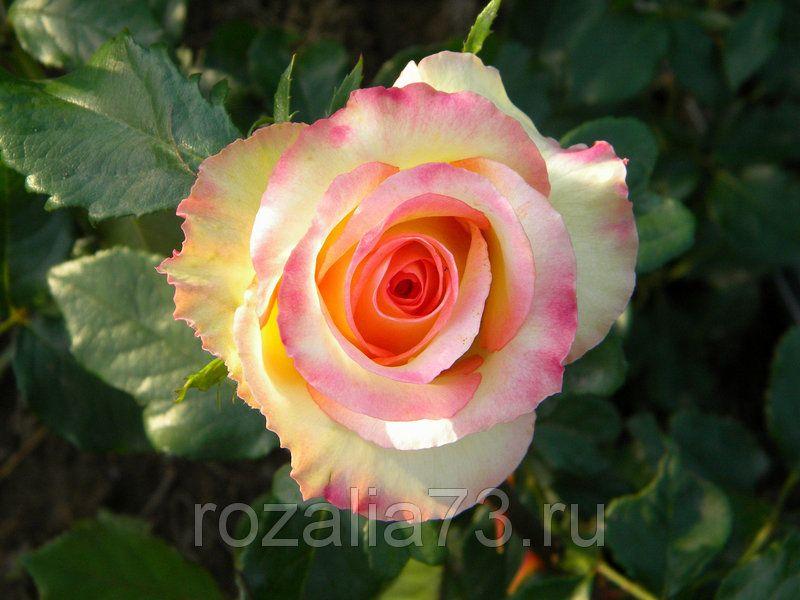 Саженец чайно-гибридной розы Амбианс: фото и описание