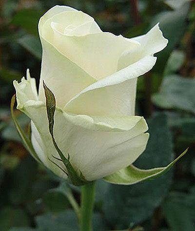 Саженец розы Амелия: фото и описание