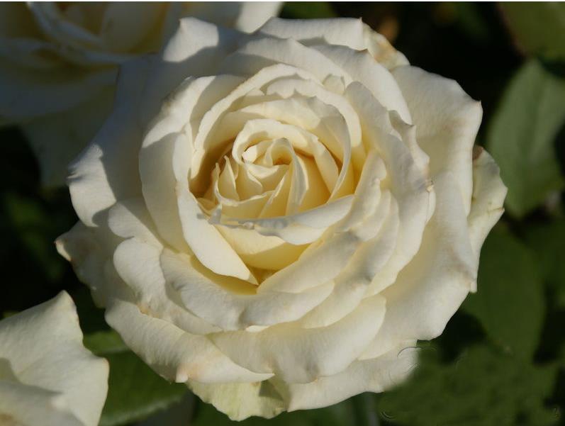 Саженец розы Анастасия: фото и описание