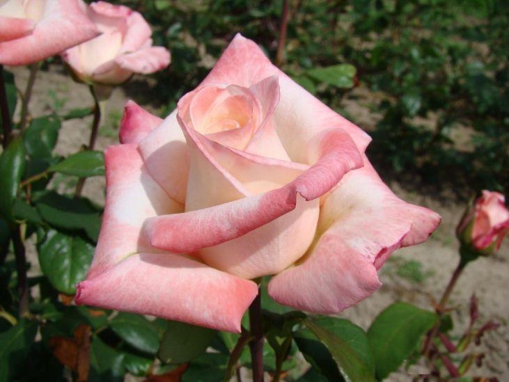 Саженец розы Анна: фото и описание