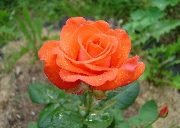 Саженец розы Анжелика: фото и описание