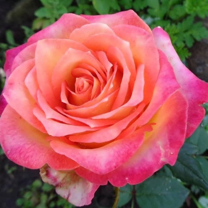 Саженец розы Апачи: фото и описание