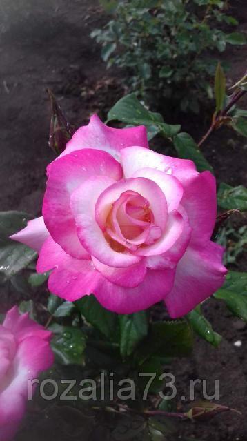 Саженец розы Арифа: фото и описание
