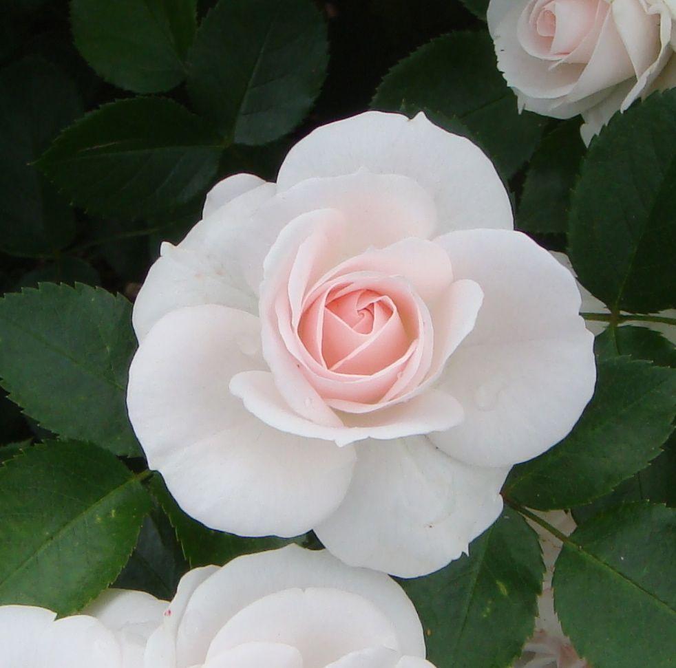 Саженец розы Аспирин Розе: фото и описание