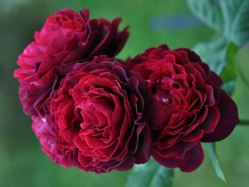 Саженец парковой розы Астрид Графин: фото и описание