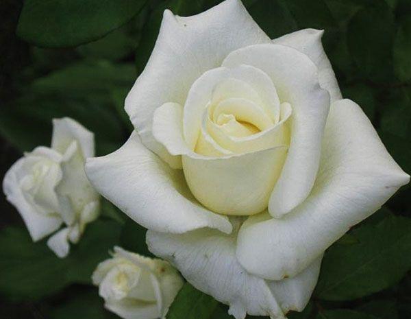Саженец розы Атена: фото и описание