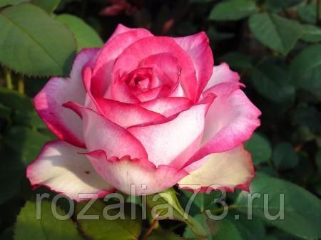Саженец розы Аттракта: фото и описание