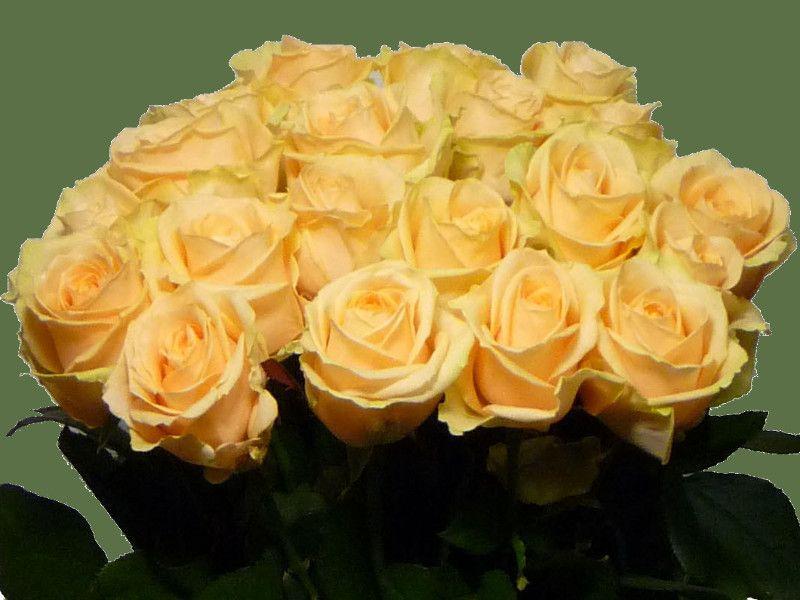 Саженец чайно-гибридной розы Аваланж Пич: фото и описание