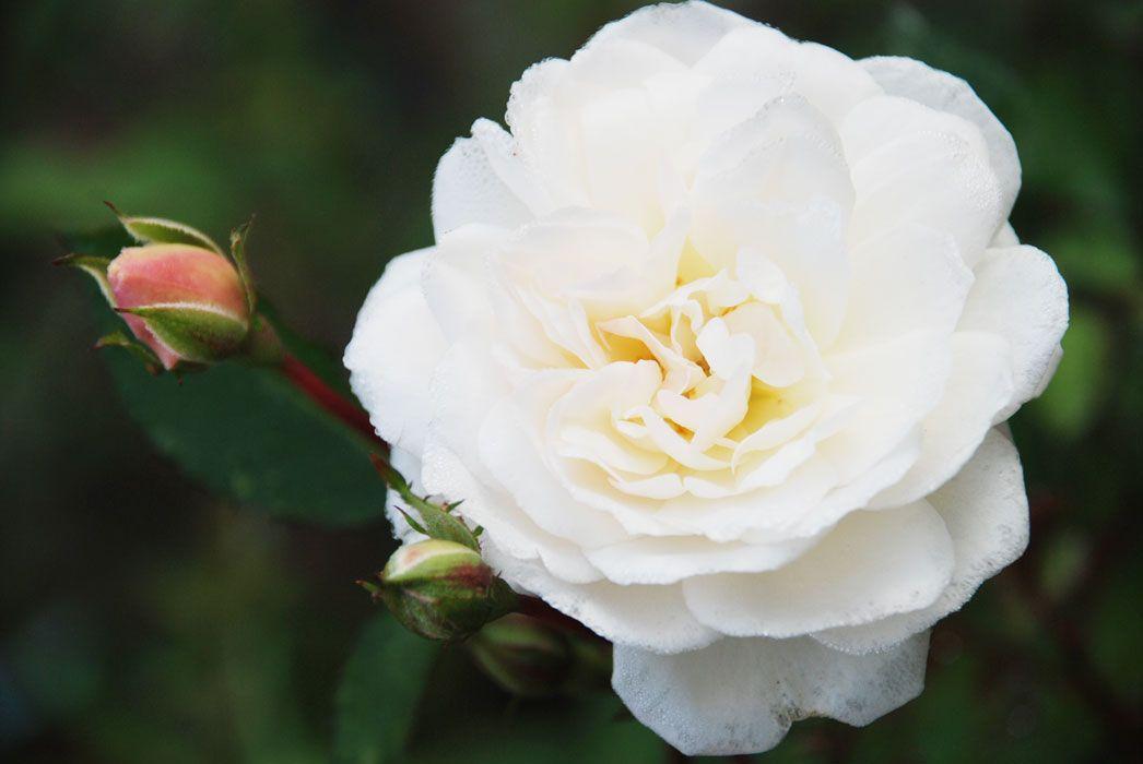 Саженец розы Айсберг: фото и описание