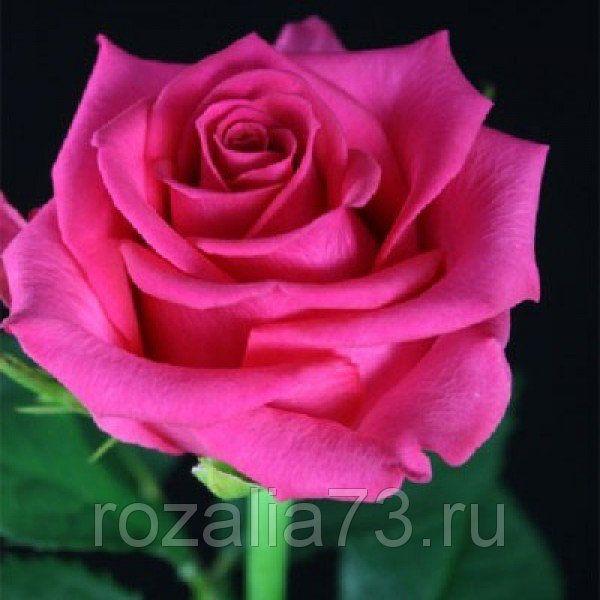 Саженец розы Бабкина: фото и описание