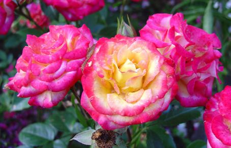 Саженец розы Бэби Маскарад: фото и описание