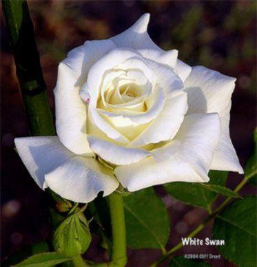 Саженец розы Белая лебедь: фото и описание