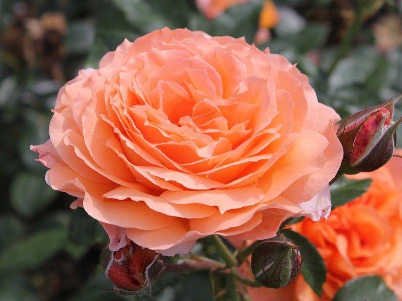 Саженец розы Бельведе: фото и описание