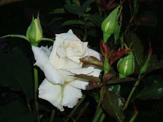 Саженец розы Бианка: фото и описание