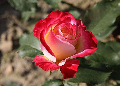 Саженец чайно-гибридной розы Биколетте: фото и описание