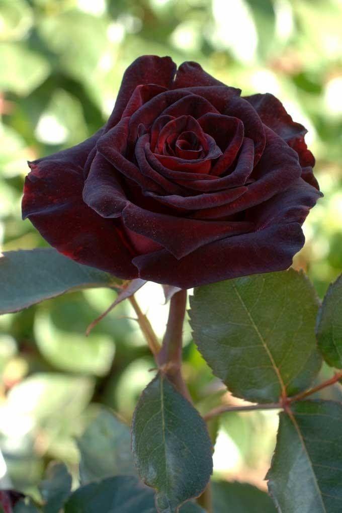 Саженец чайно-гибридной розы Блэк Баккара: фото и описание