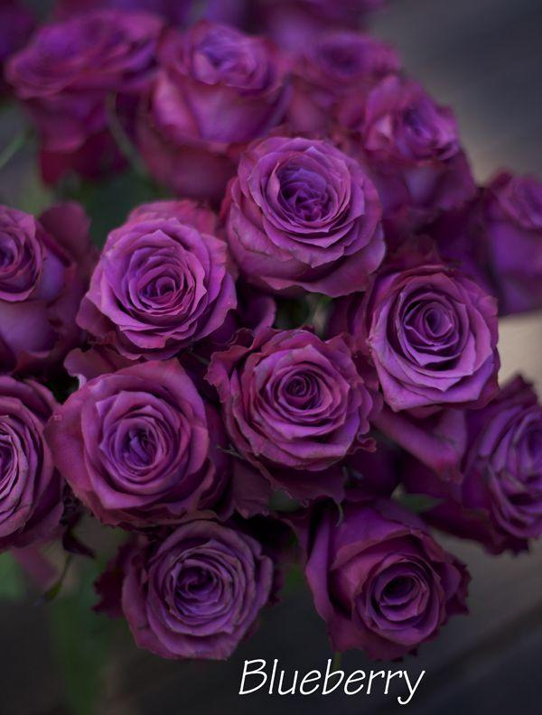 Саженец чайно-гибридной розы Блуберри: фото и описание